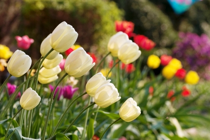 Beautiful tulips in various colors are in full bloom.