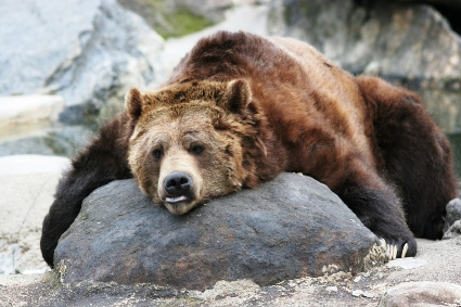 A tired-looking brown bear is lying on a rock.