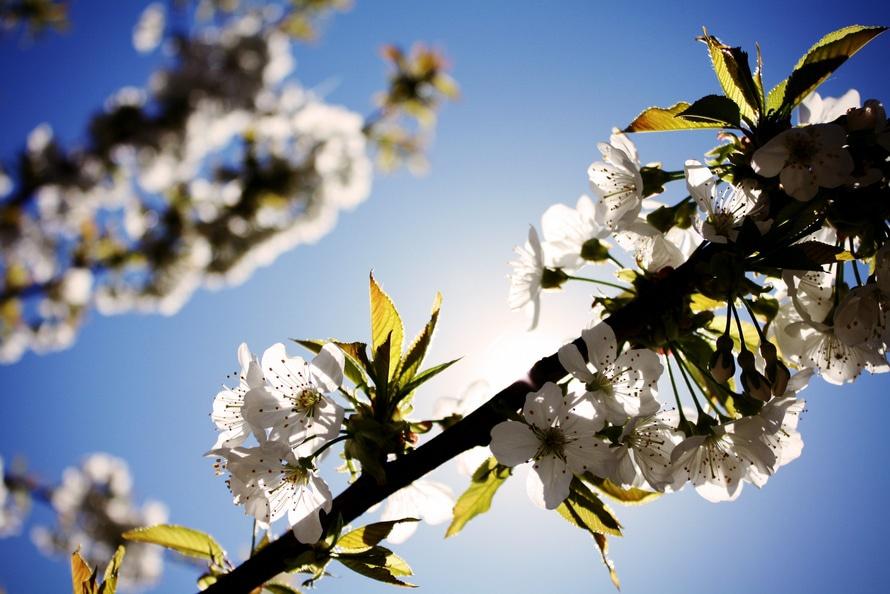sunny-spring-tree-white-large